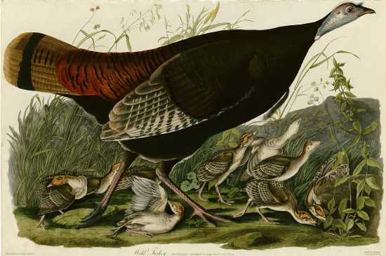 Wild turkeys by John James Audubon